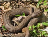 Northern Water Snakes-Mating