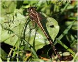 Ashy Clubtail-Female