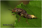 Gold-and-Brown Rove Beetle