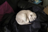 Mauii sleeps on a Guest's jacket