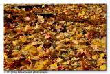 Carpet of leaves ...