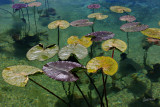 Lilly Pads CL Workflow.jpg