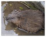 Friendly Muskrat