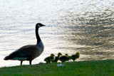 Canada Geese  ~  May 12
