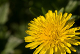 Dandelions Are Dandy  ~  May 17