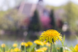 Dandelion Dreams  ~  May 24