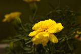 Yellow Marigold  ~  June 26