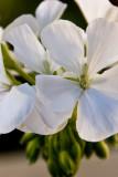 White Geranium  ~  June 27