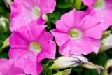 Petunia  ~  July 7