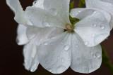 White Geranium  ~ August 8