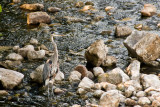 Great Blue Heron  ~  21 August