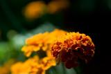 Marigold  ~  August 25