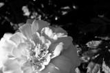 Marigold Black & White  ~  September 5