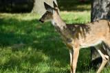 Deer  ~  September 7