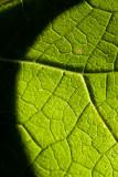 Leaf Macro  ~  September 17