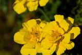 Fall Marigold  ~  October 3