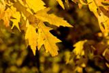 Maple Autumn  ~  October 20
