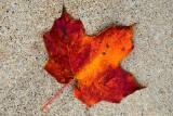 Maple Leaf  ~  October 22