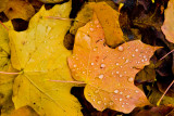 Greg's Autumn Leaf Collection  ~  October 23