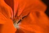 Red Geranium Macro  ~  December 1