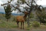Elk  ~  June 8