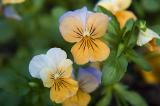 Pastel Pansies  ~  June 18