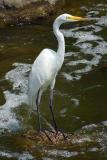 Egret  ~  June 27