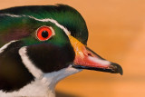 Wood Duck  ~  January 28  [7]