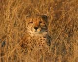 Cheetah Ngala (2)