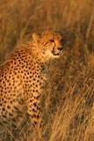 Cheetah Ngala