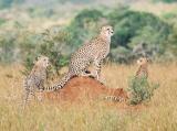 Cheetahs Phinda (2)