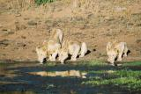 Lions Phinda