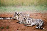 Cheetahs Phinda