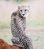 Cheetah Phinda (2)