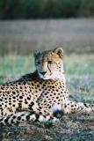 Cheetah Phinda