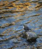 Wasseramsel / White-throated Dipper