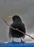 Amseln / Common Blackbird