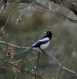 Elstern / Eurasian Magpie