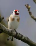 Distelfink / European Goldfinch