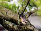 Buchfinken / Common Chaffinch