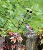 Haussperling / House Sparrow