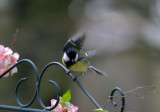 Kohlmeise / Great Tit