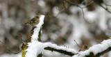 Buchfink Dame / Common Chaffinch