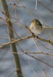Buchfink  Dame/ Common Chaffinch