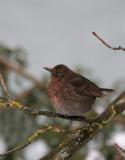Amsel Dame/ Common Blackbird