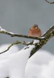 Buchfink  / Common Chaffinch