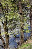 Bäume an der Linth