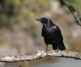 Raben / Northern Raven
