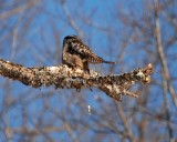 northern hawk owl Image0043.jpg