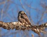 northern hawk owl Image0042.jpg